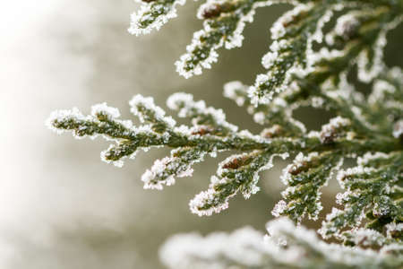 white hoarfrost crystal on green thuja twig photo