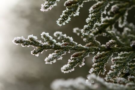 white hoarfrost crystal on green thuja twig Stock Photo - 17313446