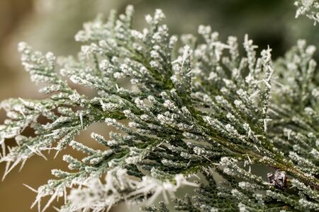white hoarfrost crystal on green thuja twig Stock Photo - 17313593