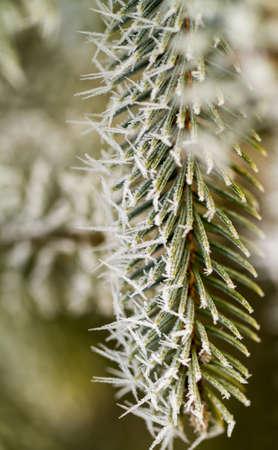 branche pin: givre sur branche de pin d'argent Banque d'images