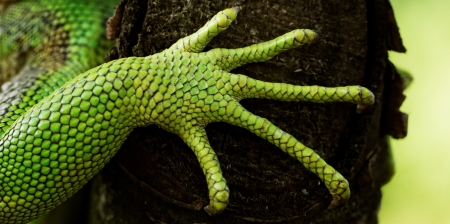 green iguana feet on the tree photo