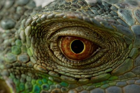 macro of a fantastic green iguana eye photo