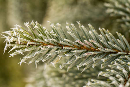 pine branch: rime or hoarfrost on a silver pine branch Stock Photo