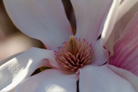 Closeup about a blossom Magnolia tree photo