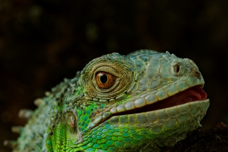 portrait about a green iguana on the tree