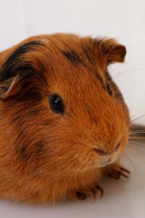 guinea pig head close-up (macro)