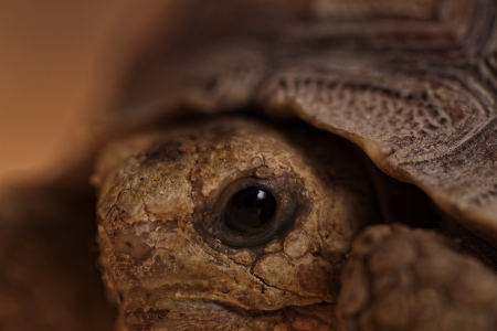 spurred: African Spurred Tortoise eye macro (close-up)