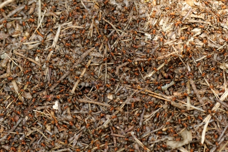 colony: ants and ant hill Stock Photo