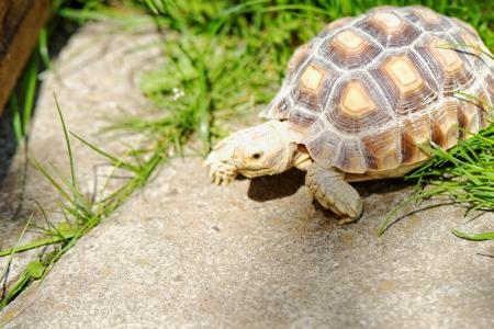 African Spurred Tortoise (Geochelone sulcata) in the garden