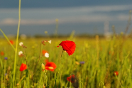 Huge red colored poppy field photo