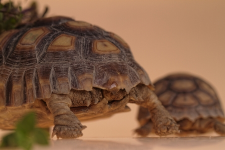 sulcata: African Spurred Tortoise (Geochelone sulcata) isolated Stock Photo