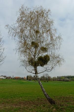 mistletoe on the tree