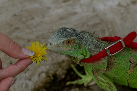 green iguana on a red leash