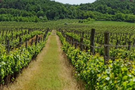 vineyard langscape Stock Photo