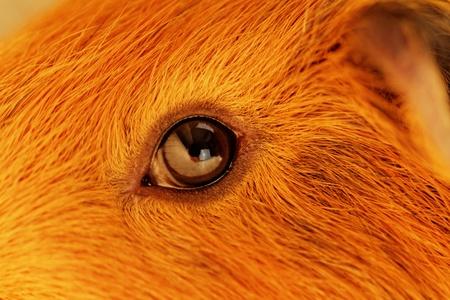 guinea pig eye close-up (macro) Stock Photo