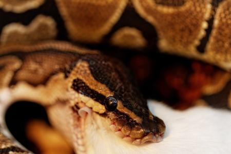 ball python eating one white mouse photo