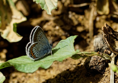 lycaenidae: The Silver-studded Blue (Plebejus argus) is a butterfly in the family Lycaenidae