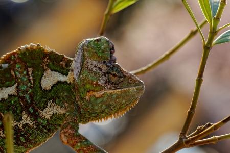 Chameleon on the leaf (Chamaeleo calyptratus) Stock Photo