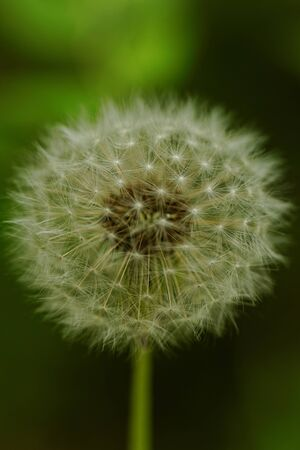 close-up of a dandelion flower Stock Photo