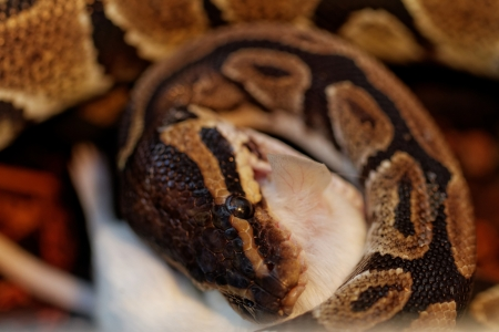 peril: ball python eating one white mouse