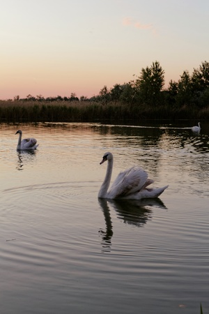 Lonely swan swimming by the rising sun photo