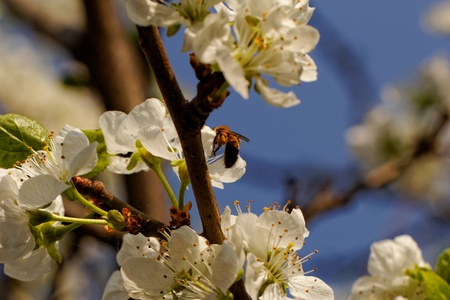 pollination: blossom tree with a bee pollination Stock Photo