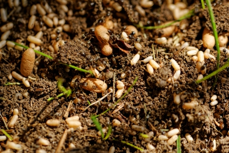 anthill: in the anthill moving ants the eggs Stock Photo