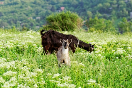Goats grazing in the meadow photo