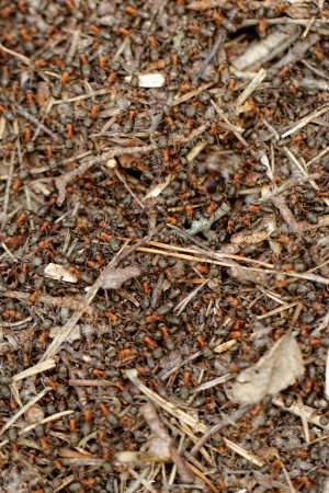 anthill: ants and ant hill Stock Photo