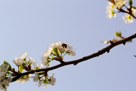 blossom tree with a bee pollination photo