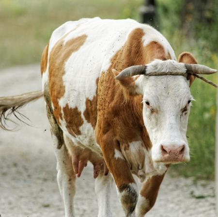 motley cow graze in a field (free range) photo