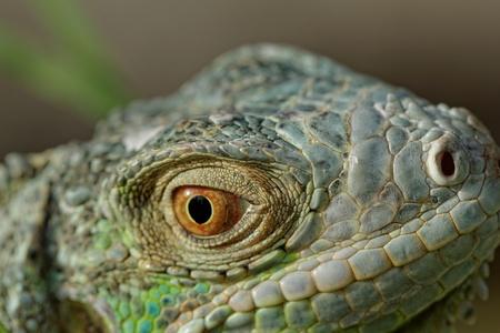macro of a fantastic green iguana head