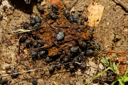 excrete: dung beetles in the excreta (Scarabaeus viettei ,Madateuchus viettei, Scarabaeidae) Stock Photo