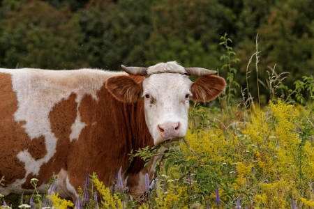motley cow graze in a field (free range) Stock Photo - 21811093