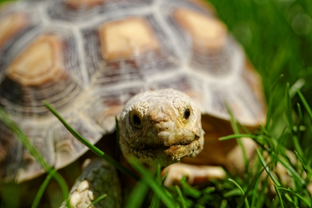 African Spurred Tortoise (Geochelone sulcata) in the garden photo