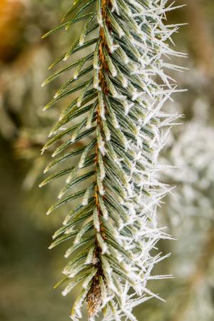 branche pin: givre sur la branche de pin d'argent