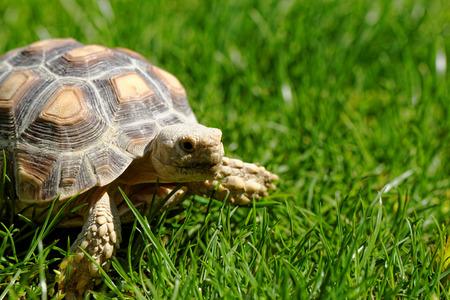 sulcata: African Spurred Tortoise (Geochelone sulcata) in the garden