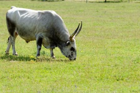 Ruminant Hungarian gray cattle bull on grass photo