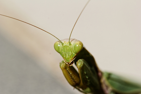 huge green praying Mantis on the floor (Mantodea, mantises, mantes) photo