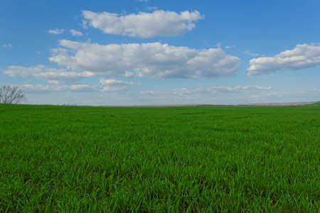 green wheat field under the blue cloudy sky photo