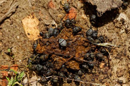 excrete: dung beetles in the excreta (Scarabaeus viettei ,Madateuchus viettei, Scarabaeidae) Stock Photo