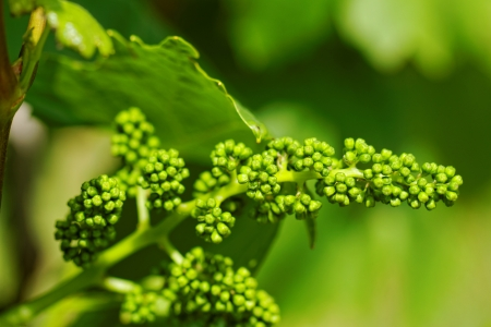 baby green grapes on the vine