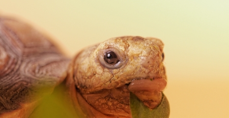 spurred: African Spurred Tortoise (Geochelone sulcata) isolated Stock Photo