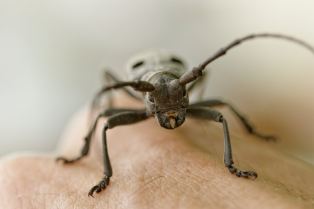Macro portrait of the Capricorn Beetle on human arm (mans hand) photo