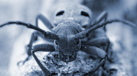 Macro portrait of the Capricorn Beetle in the nature photo with special filter photo
