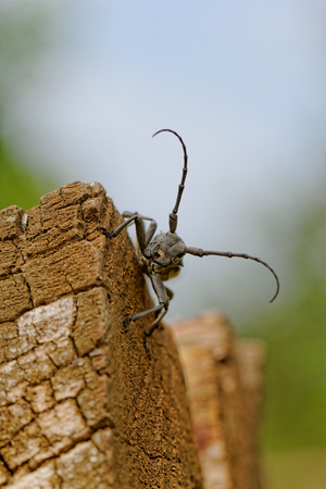 Macro photo of the Capricorn Beetle in the nature from back photo