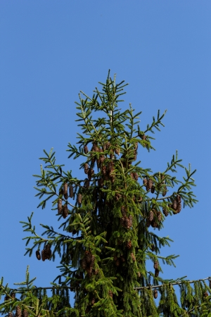 pine tree with fresh pine shoots and red pinecones photo