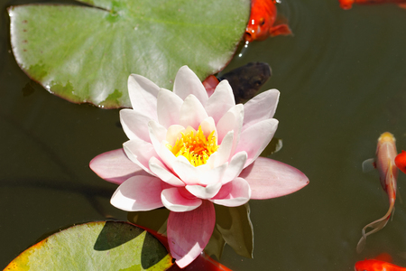 pink water lily in the lake with goldfish photo