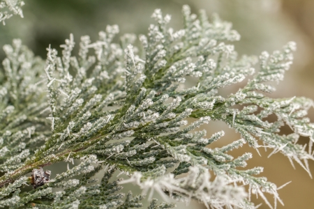 hoar: white hoarfrost crystal on green thuja twig
