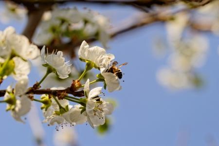 blossom tree with a bee pollination Reklamní fotografie